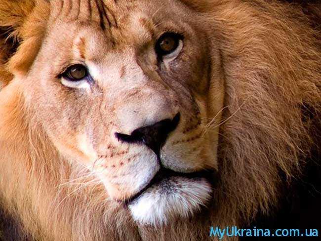 Гороскоп на 2017 год для Льва