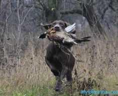 срок проведения весенней охоты в 2017 году