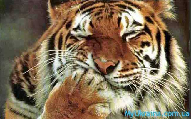 что ждет Тигра в 2017 году по восточному гороскопу