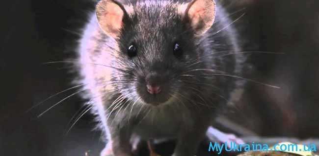 что ждет Крысу в 2017 году по восточному гороскопу