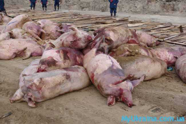 туши свиней