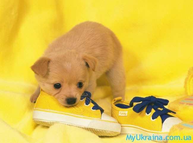 желтая собачка