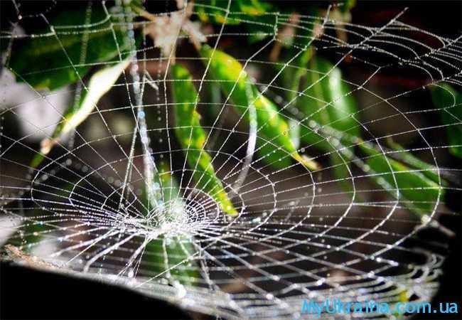Паучок, активно плетущий паутинку