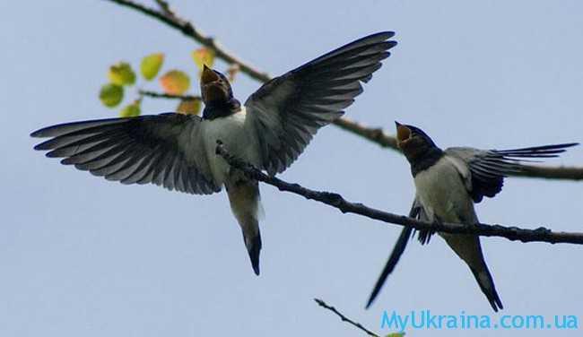 летающие ласточки