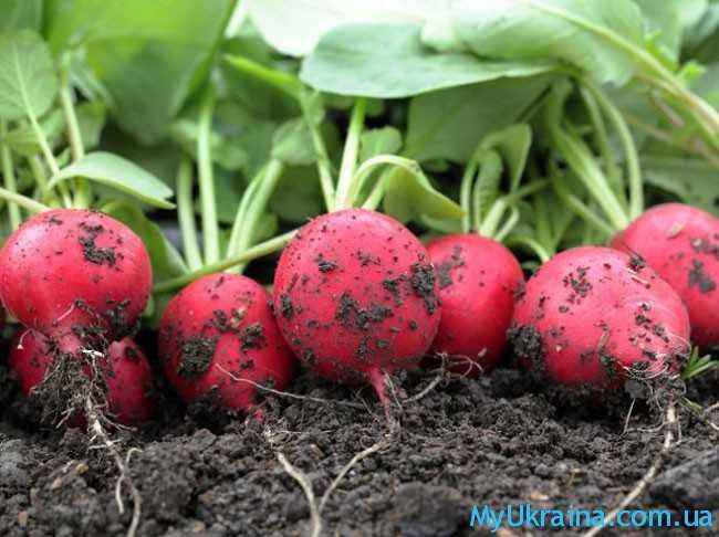 начинают высевать в грунт редис