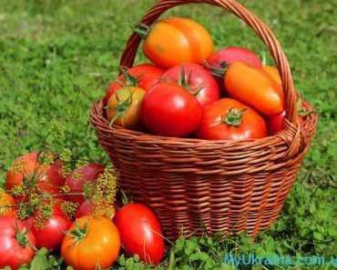 Радуют огородников и свежие плоды томатов