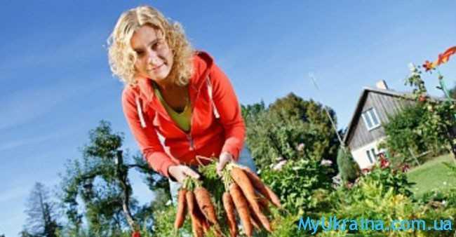 Продолжается активный сбор созревшего урожая
