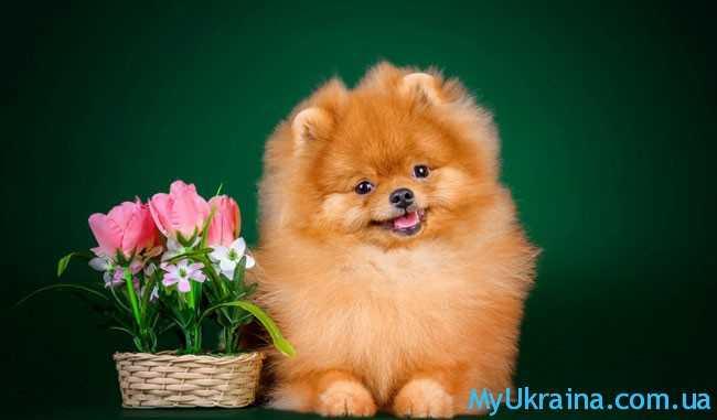 с новым покровителем – Жёлтой Собакой