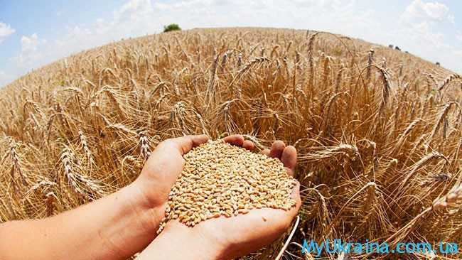 спелая пшеница