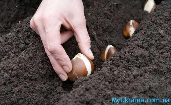 высаживание луковиц