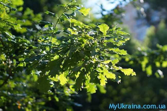 озеленение дуба