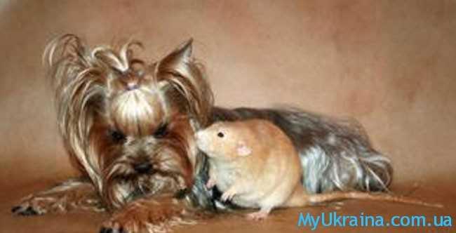 Чего стоит ожидать всем Крысам в год Собаки