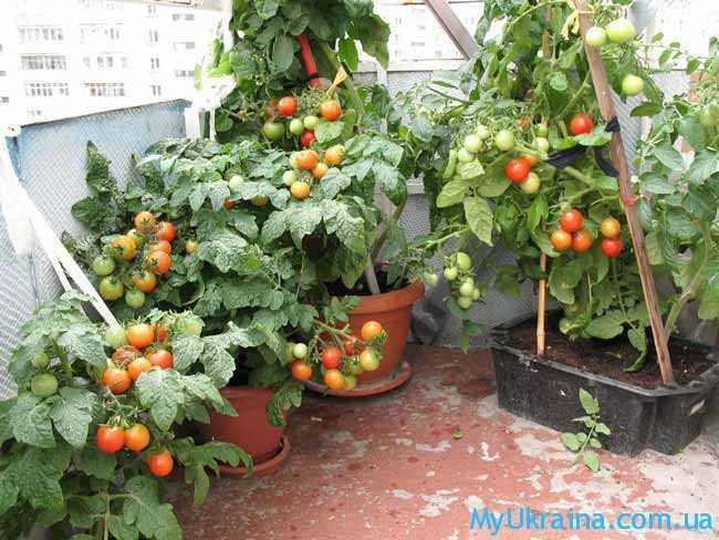 Урожай на балконе