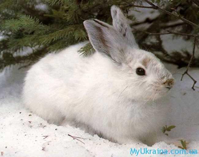 в марте зайцы не торопятся менять свои белые шубки на серые