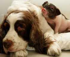 Собака и свинья похожи друг на друга