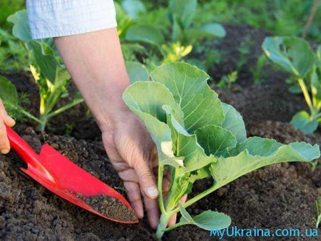 Можно высаживать в почву капусту