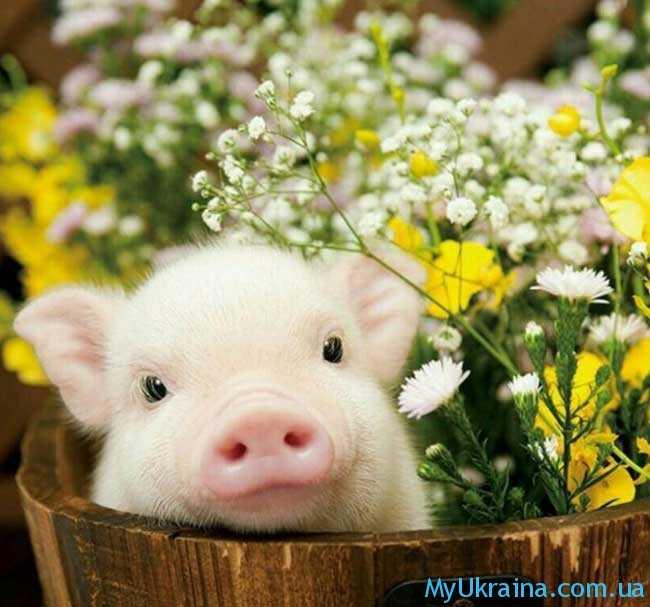 Маленькие Кабанчики и Свинки