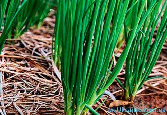 Своевременного сбора урожая требуют и луковые кусты