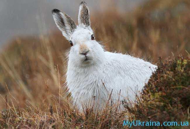 зайцы часто появляются в деревнях и селах