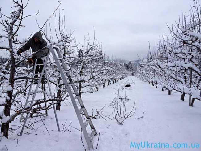 благоприятные дни в лунном посевном календаредля обрезки ветвей плодовых деревьев