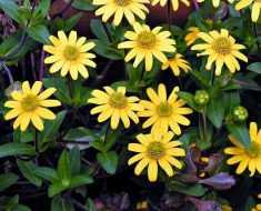Санвиталия – цветок, который любит солнце